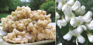 Le pringtemp : le temps des beignets de fleur d'acacia !